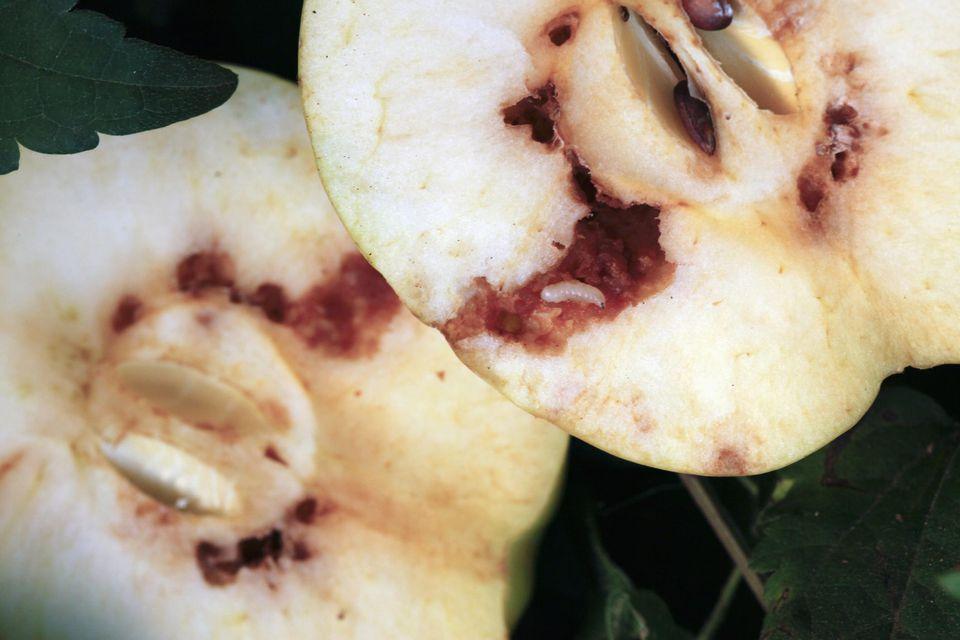 Apple Maggots