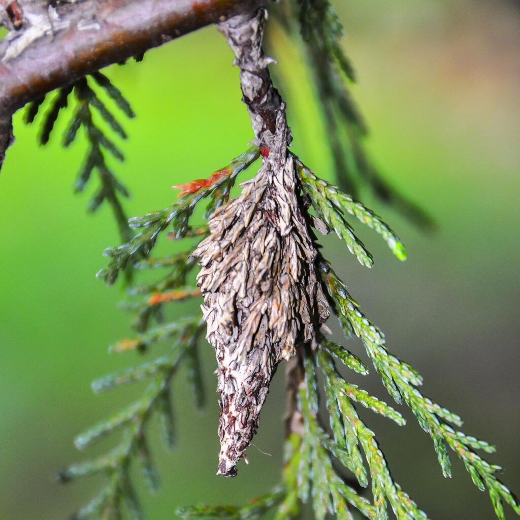 Close Up Of Bagworm Cocoon