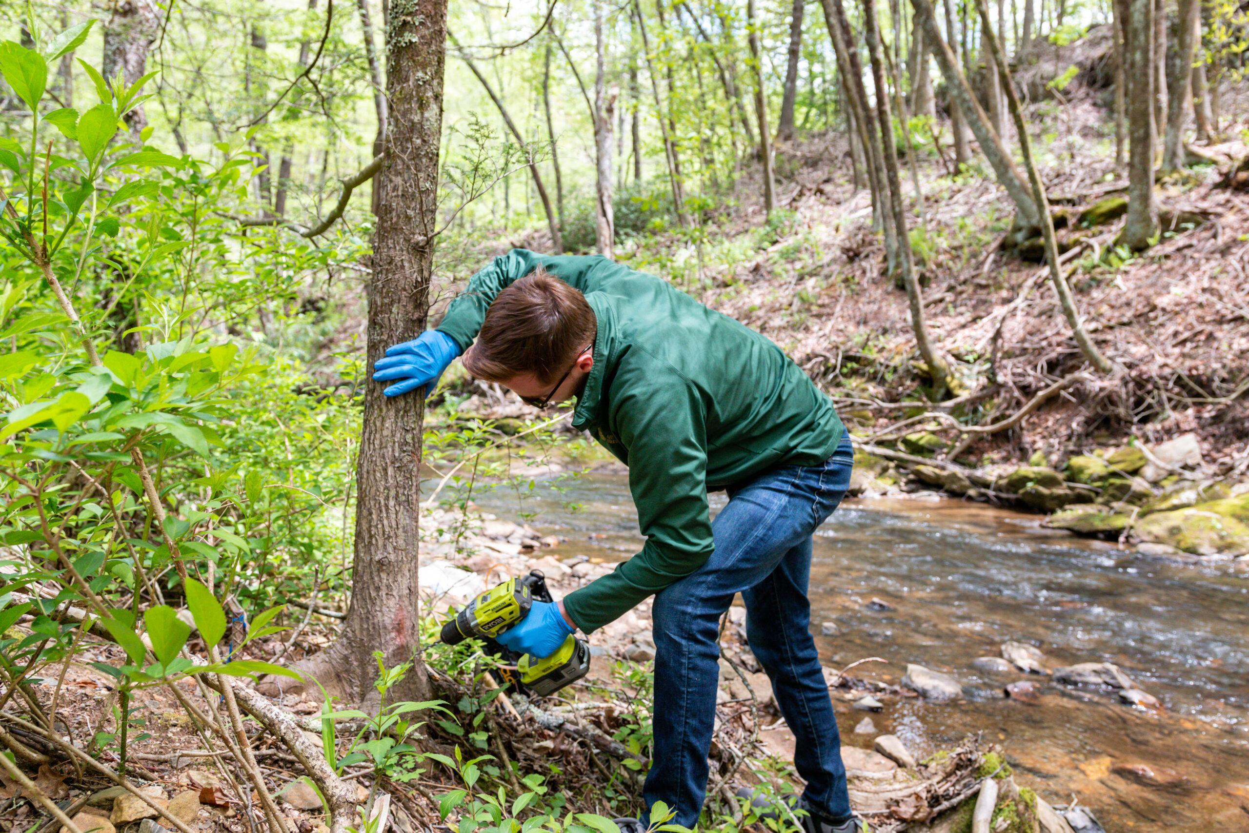 Certified Arborist Preparing A Tree For Treatment