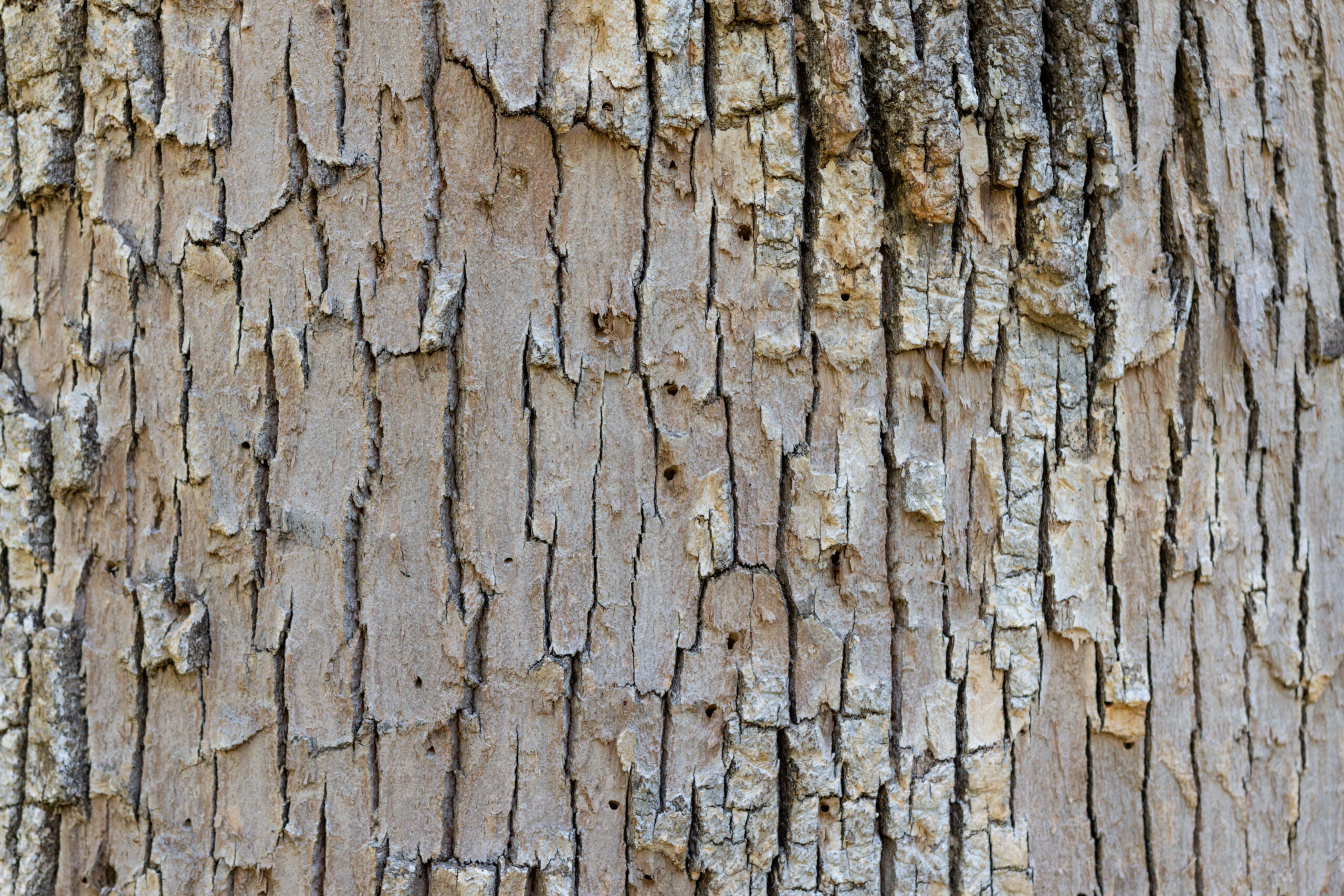Close Up Of An Ash Tree Infected With EAB