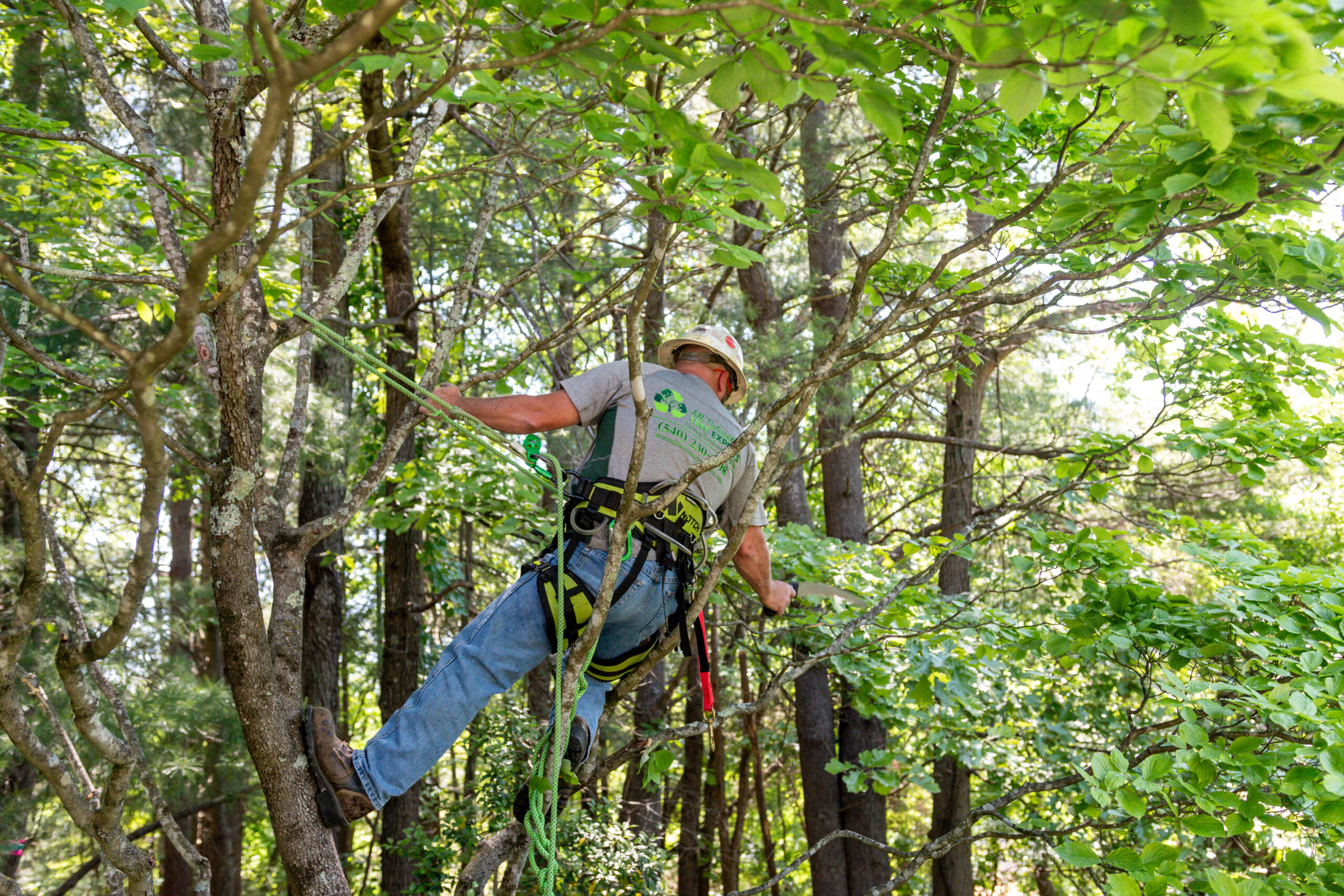 A Crew Leader Pruning A Dogwood