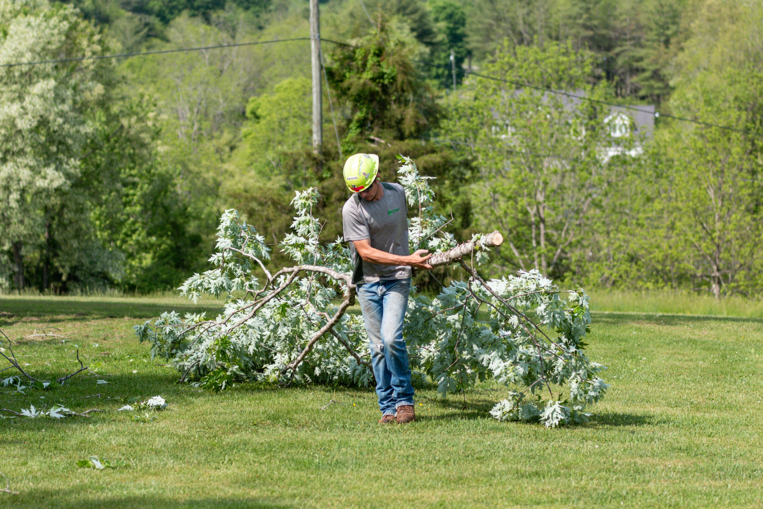 Dragging Away Cut Branches For Removal