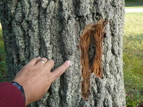 Oak Wilt Spore Mat