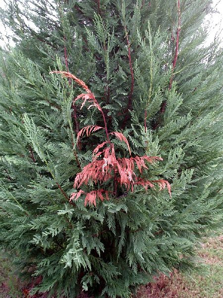 Single Branches Will Die and Turn Brown/Red