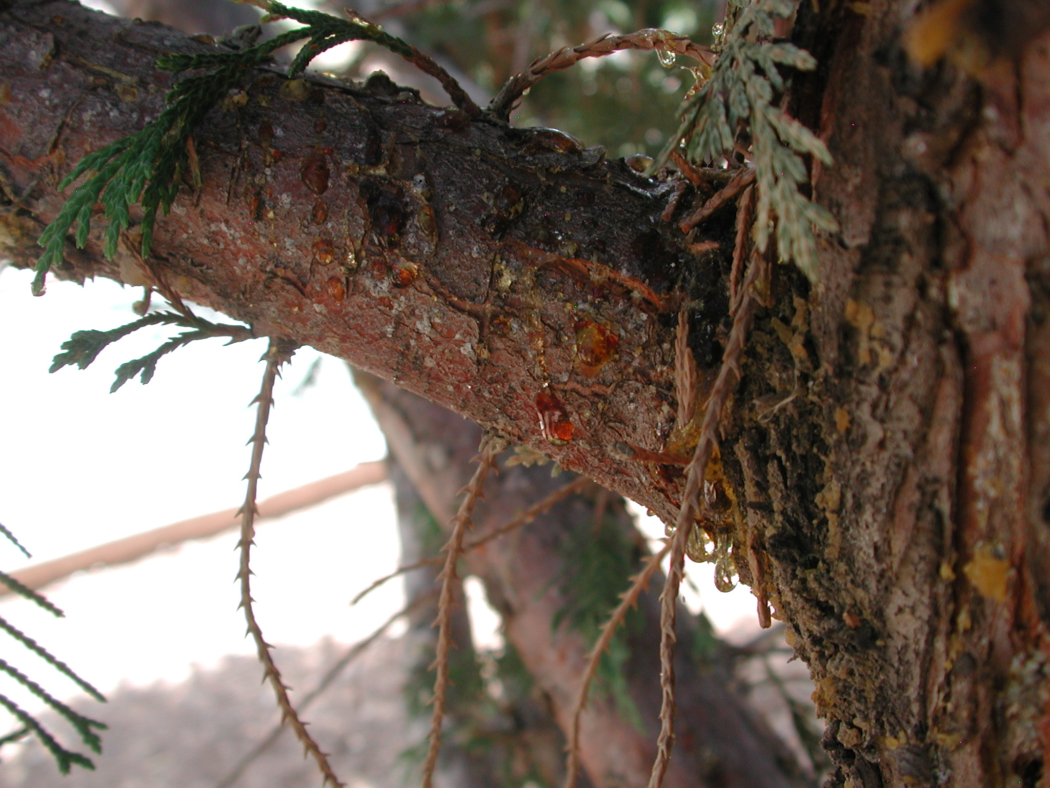 These Cankers Sometimes Exude Resin